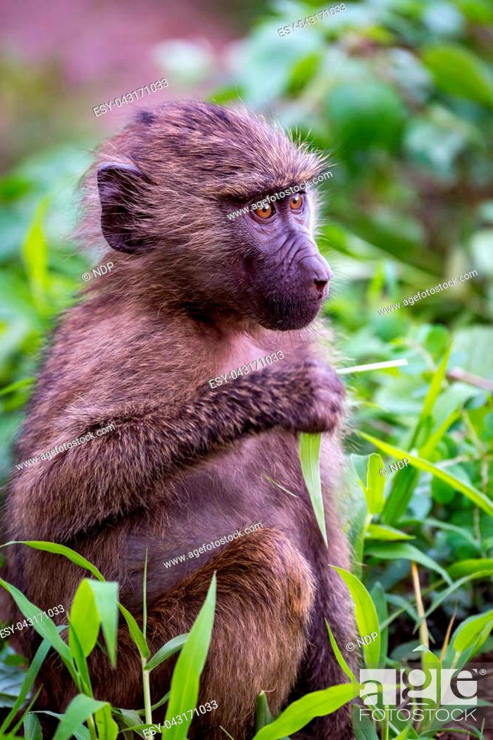 Stock Photo: Baby olive baboon holding leaf looks right.