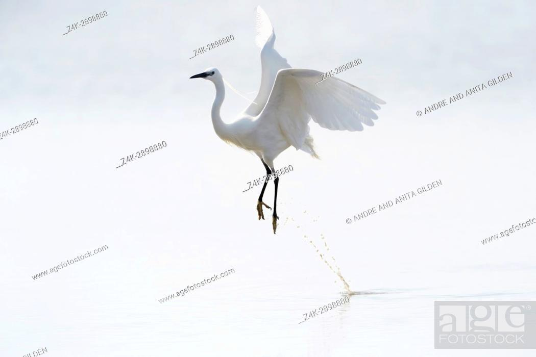 Stock Photo: Great White Egret (Egretta alba)) flying up from water, Camargue, France.