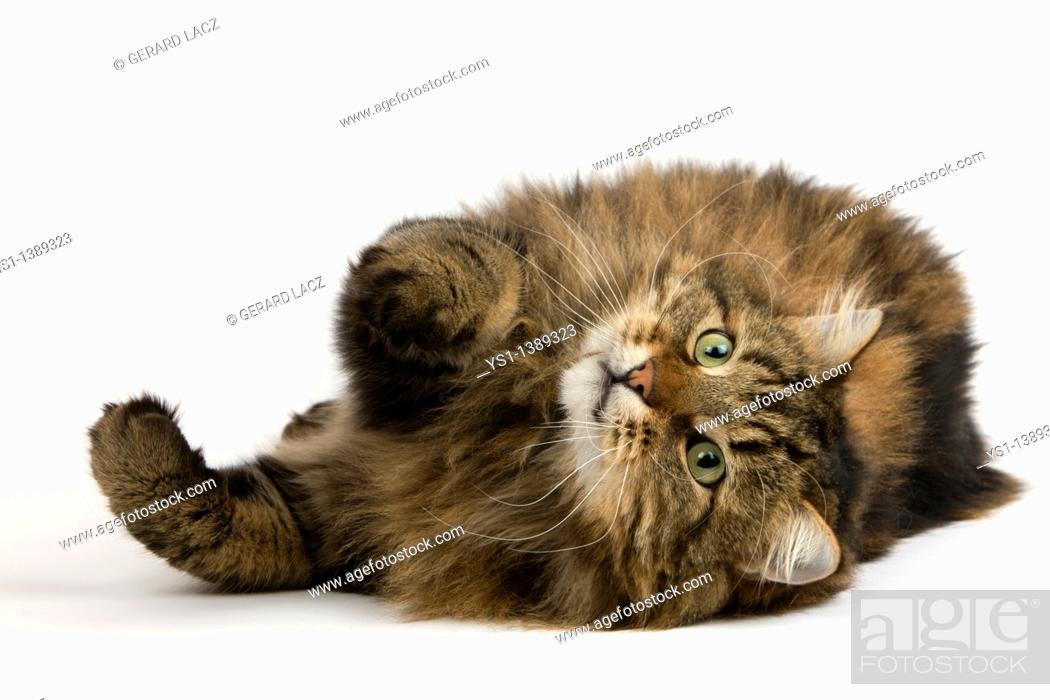 Stock Photo: Angora Domestic Cat, Male Laying Down against White Background.