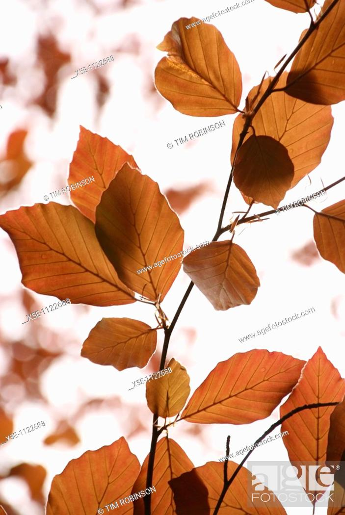 Stock Photo: Brown autumnal beech leaves.