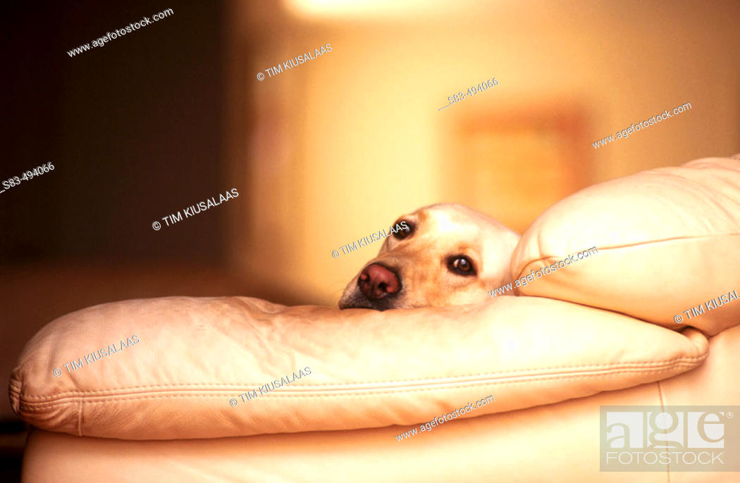 Stock Photo: Dog on couch.