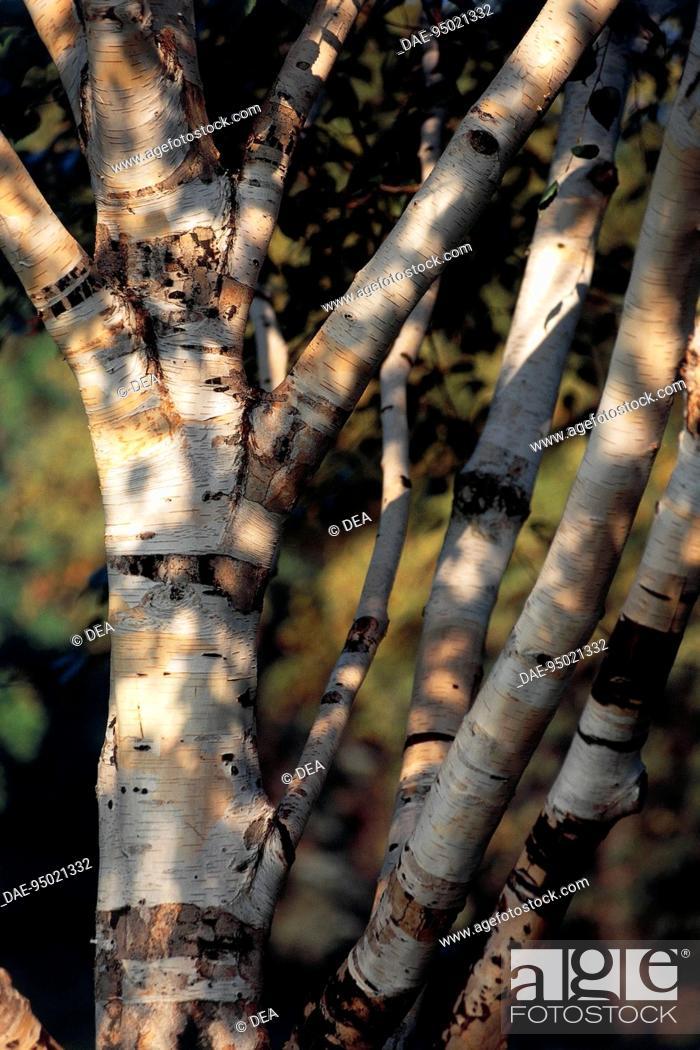 Stock Photo: Paper Birch (Betula papyrifera), Betulaceae. Detail.