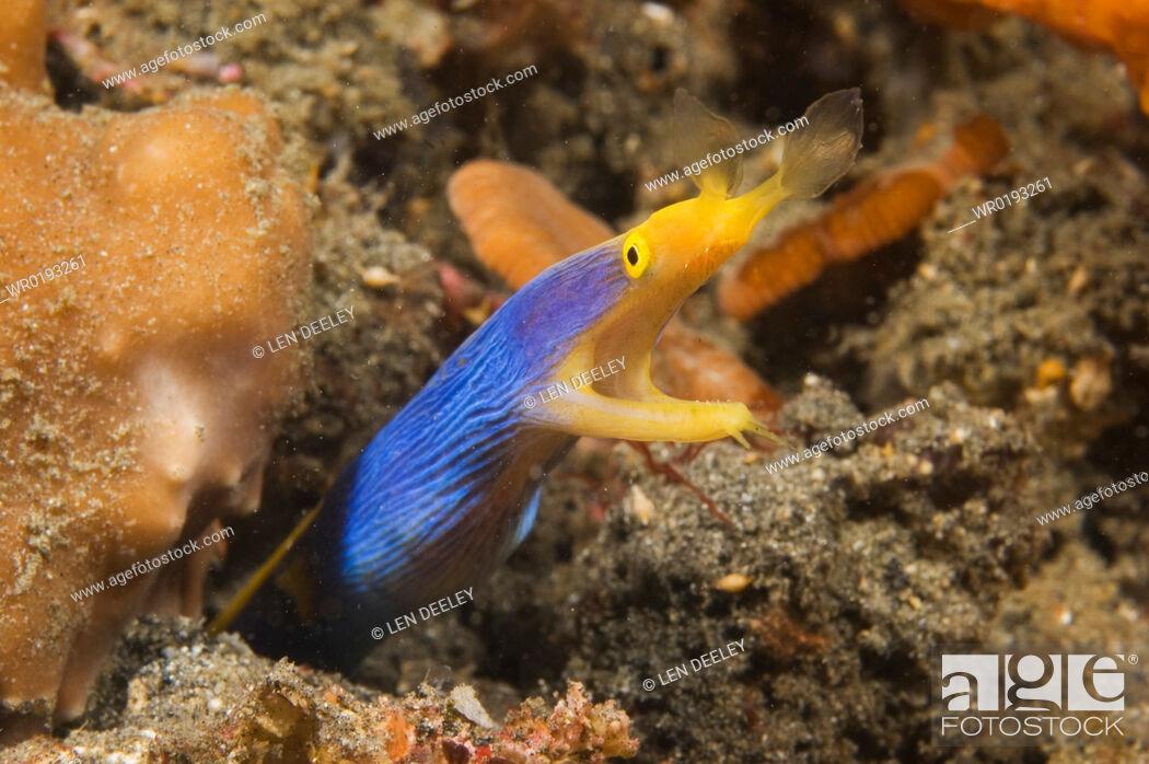 Imagen: Ribbon Eel Rhinomuraena quaesita, female, Lembeh Strait, Indonesia, 2-4-06.