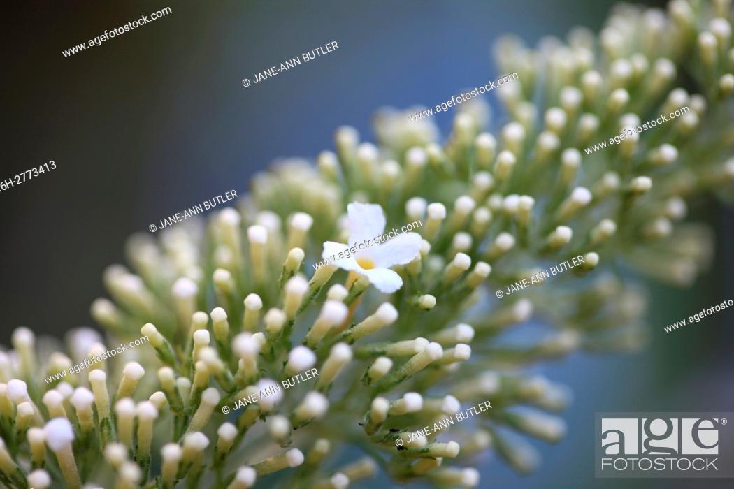 Stock Photo: exquisite buddleia davidii white flowering spike - summer favourite.
