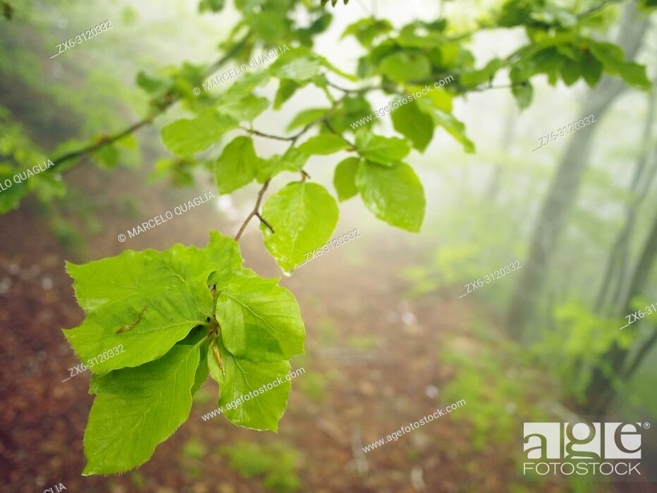 Stock Photo: Misty beech forest (Fagus sylvatica) with leaves closeup. Springtime at Montseny Natural Park. Barcelona province, Catalonia, Spain.