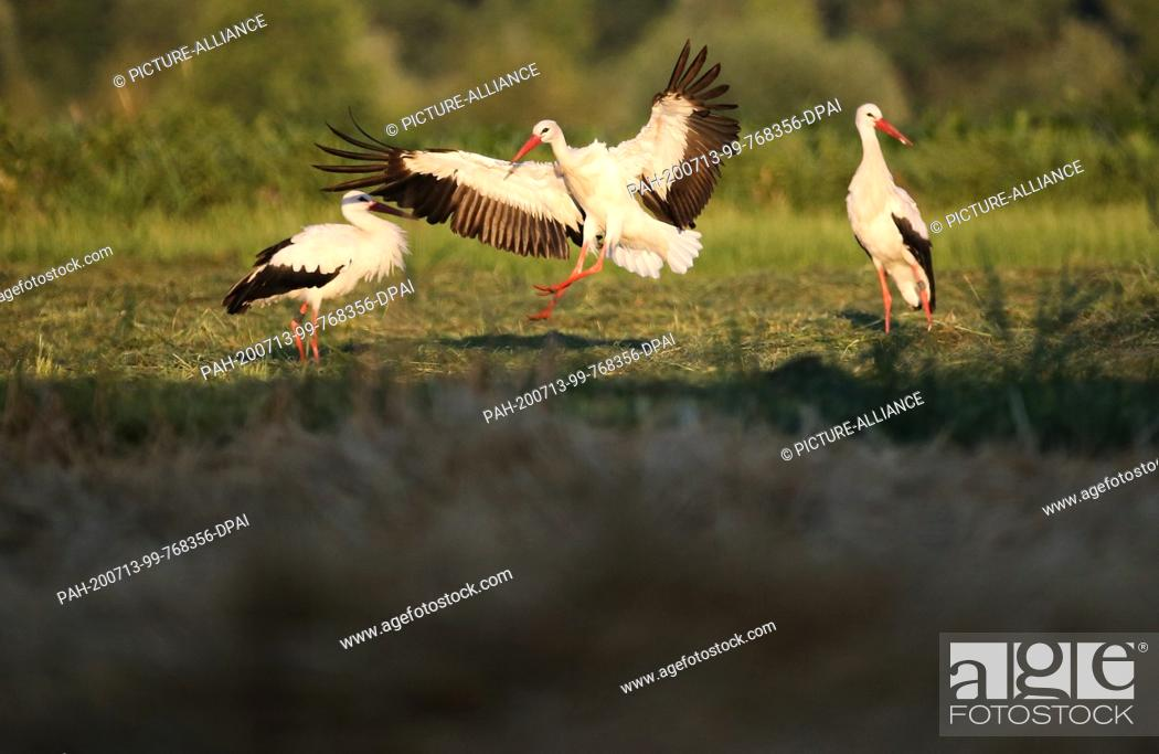 Imagen: 13 July 2020, Baden-Wuerttemberg, Unlingen: Storks meet in the morning shortly after sunrise in a nature reserve on a meadow.