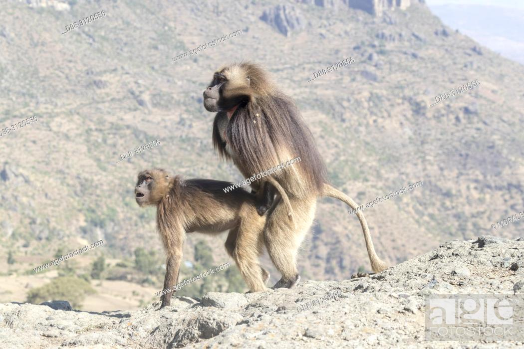 Stock Photo: Africa, Ethiopia, Rift Valley, Debre Libanos, Gelada or Gelada baboon (Theropithecus gelada), dominant male coupling with a female.