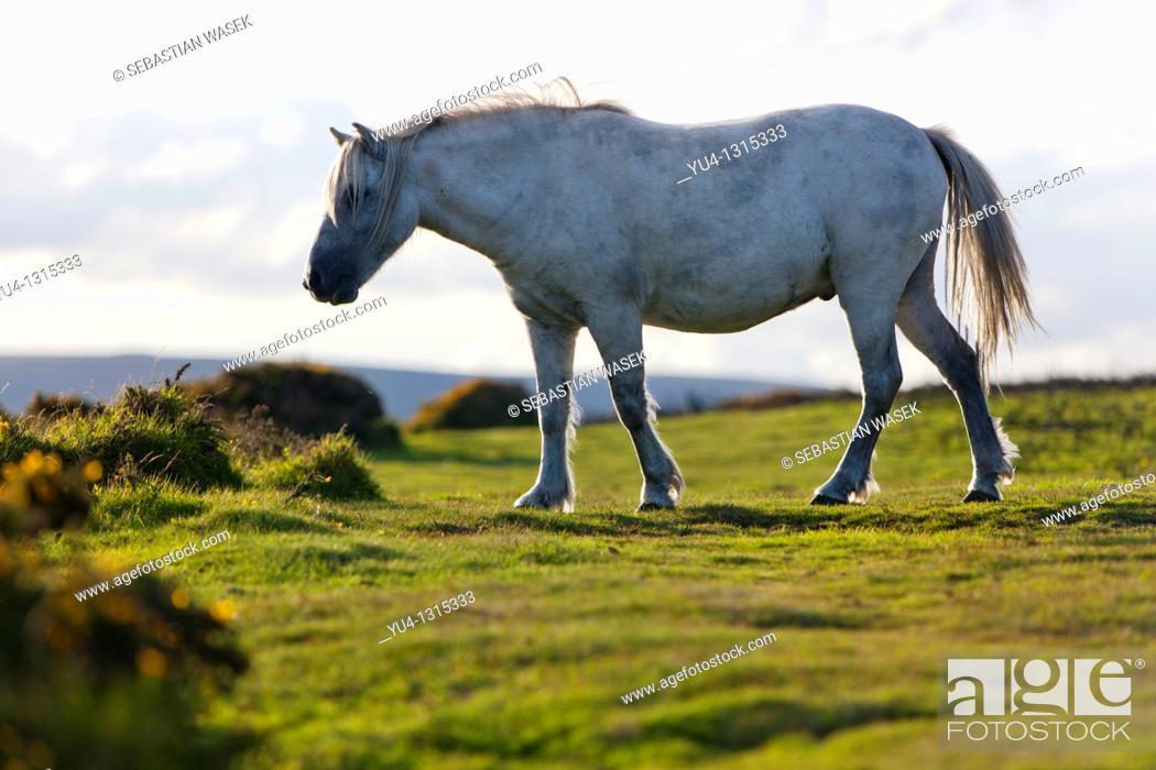 Stock Photo: Dartmoor Pony  Dartmoor National Park  Devon  England  UK.