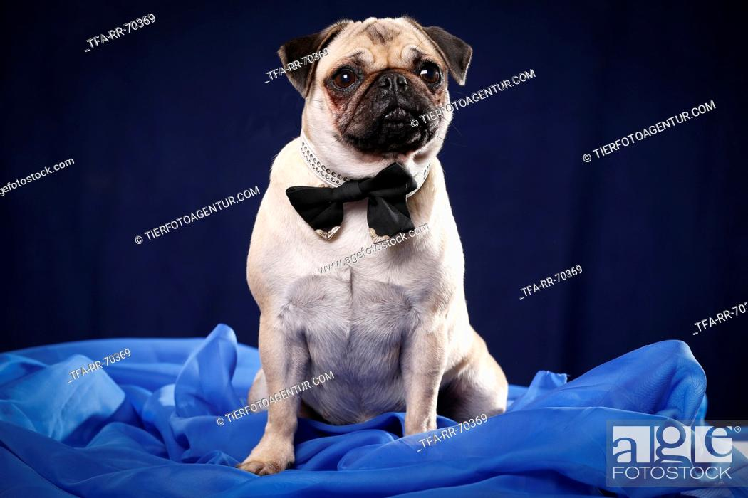 Stock Photo: sitting young pug.