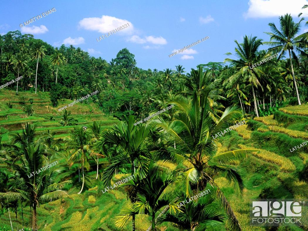 Stock Photo: The rice crop growing on narrow terraces on a steep hillside in a gorge,and tall green lush palm trees and vegetation,in a very fertile area.