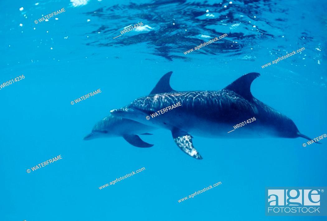 Stock Photo: Spotted Dolphins, Stenella frontalis, Atlantic, Caribbean Sea, Bahamas.