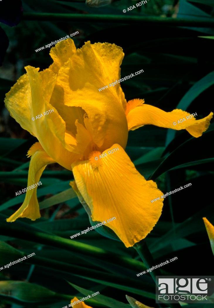 Stock Photo: Iris rhizomatous - the sun magnifies a yellow floral treasure.