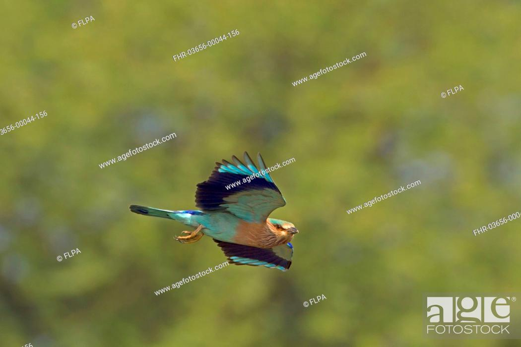 Stock Photo: Indian Roller (Coracias benghalensis) adult, in flight, India, February.