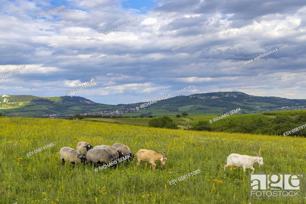 Imagen: sheep in spring landscape near Dolni Dunajovice, Palava region, South Moravia, Czech Republic.