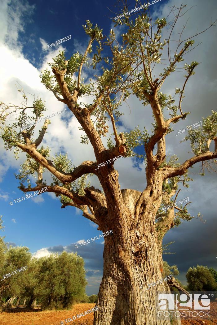 Stock Photo: Olives, Biniatzar, Bunyola, Illes Balears Spain Mallorca Tramuntana.