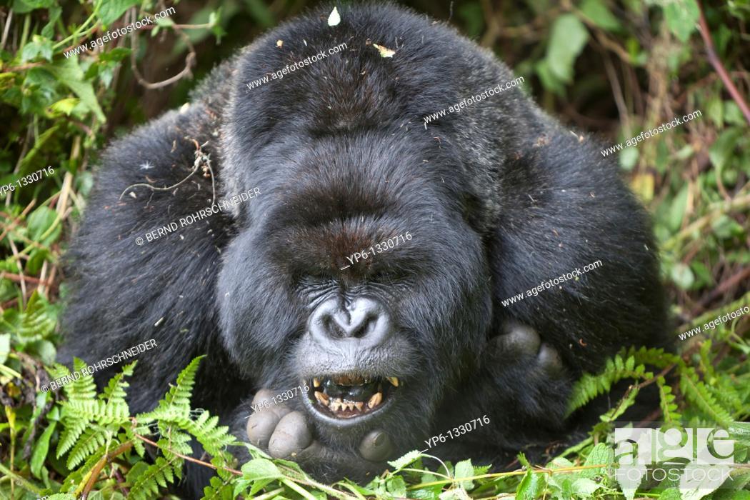 Stock Photo: Mountain Gorilla, Gorilla beringei beringei, portrait of a silverback showing teeth, Volcanoes National Park, Rwanda.