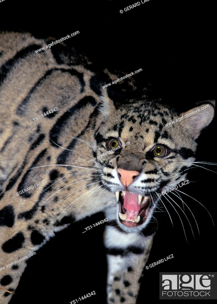 Stock Photo: CLOUDED LEOPARD neofelis nebulosa, ADULT SNARLING.