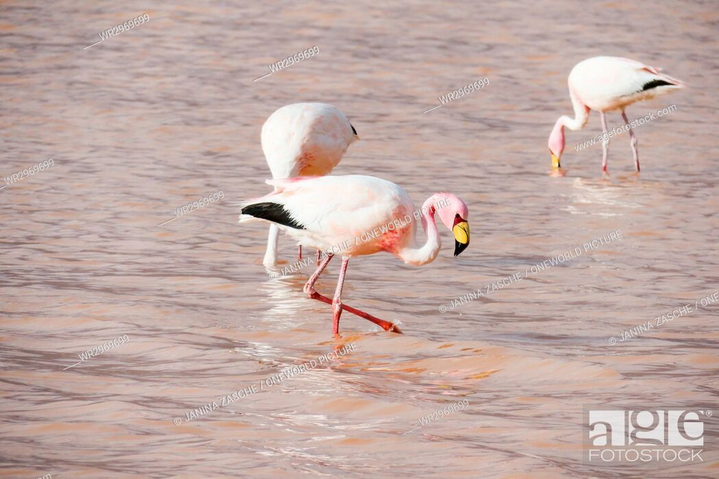 Stock Photo: Bolivia, Departamento de Potosí, Nor Lípez, Flamingos in the Laguna Colorada.
