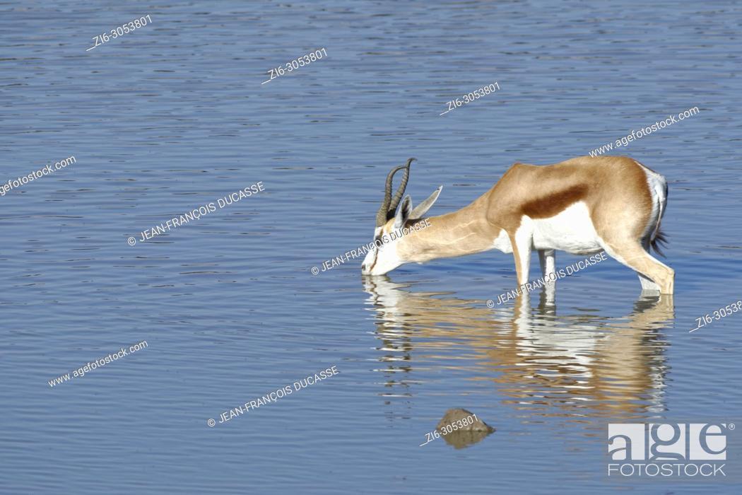 Stock Photo: Springbok (Antidorcas marsupialis), adult male standing in water, drinking, Okaukuejo waterhole, Etosha National Park, Namibia, Africa.