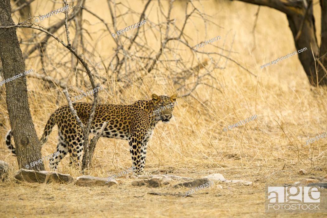 Imagen: Indian leopard, Panthera pardus fusca, Jhalana, Rajasthan, India.