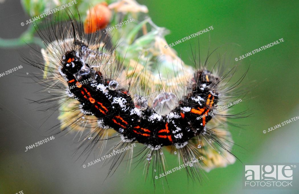 caterpillar moor