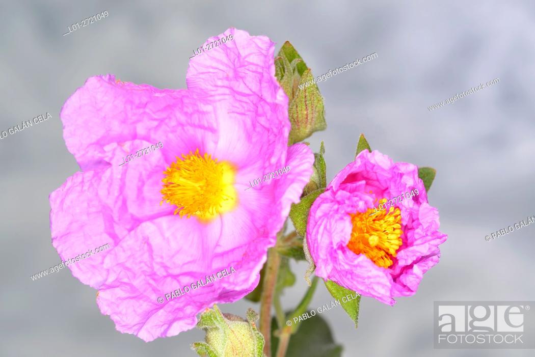 Imagen: Cistus albidus (Cistaceae).