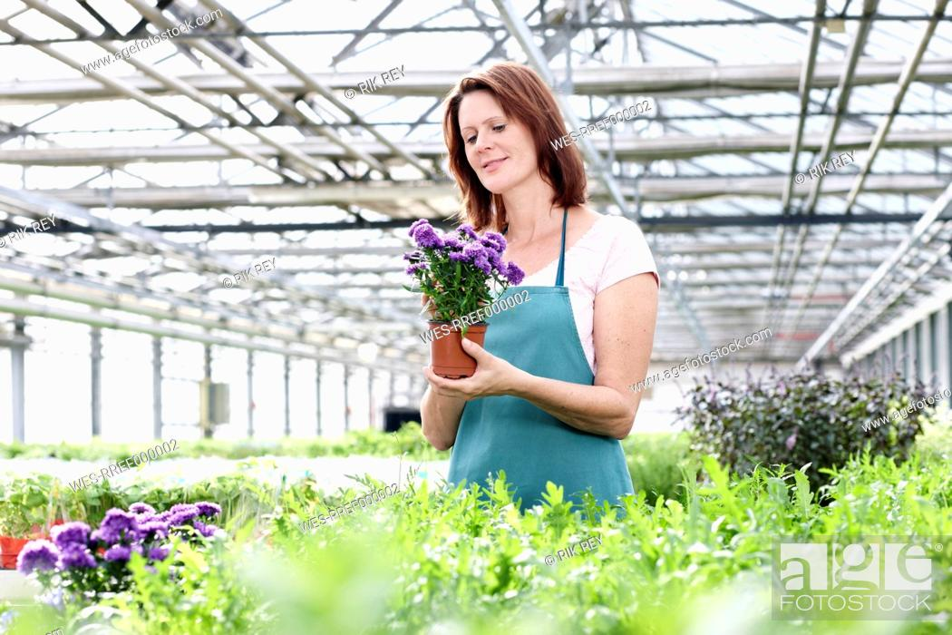 Stock Photo: Germany, Bavaria, Munich, Mature woman in greenhouse with aster plants.