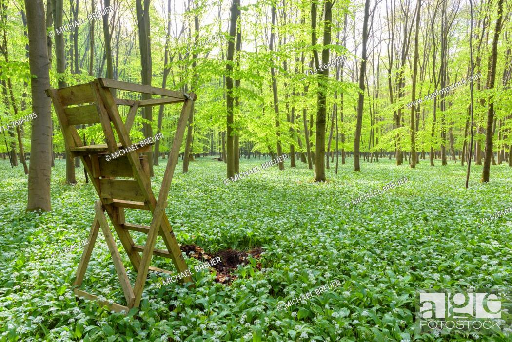 Stock Photo: Hunting Blind in European Beech Forest (Fagus sylvatica) with Ramson (Allium ursinum) in Spring, Hesse, Germany, Europe.