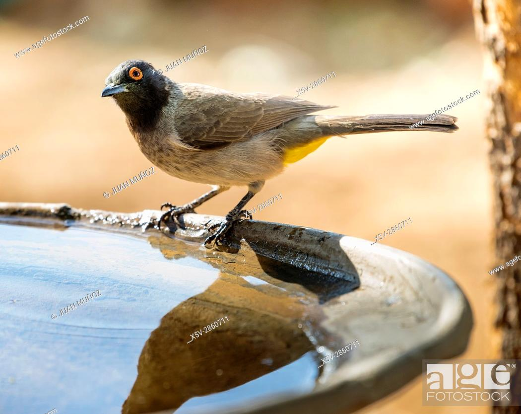 Stock Photo: African Red-eyed Bulbul (Pycnonotus nigricans). Windhoek. Namibia.