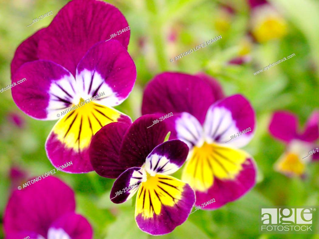 Stock Photo: Pansy (Viola tricolor).