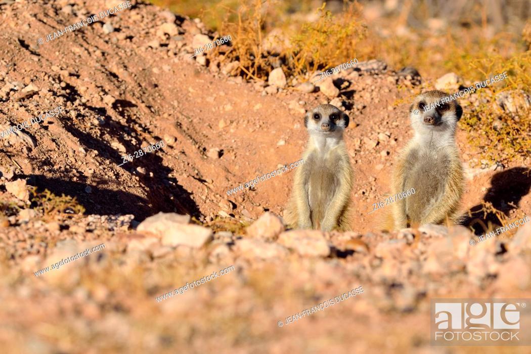 Imagen: Meerkats (Suricata suricatta), adult with young at burrow entrance, Kalahari desert, Hardap Region, Namibia, Africa.