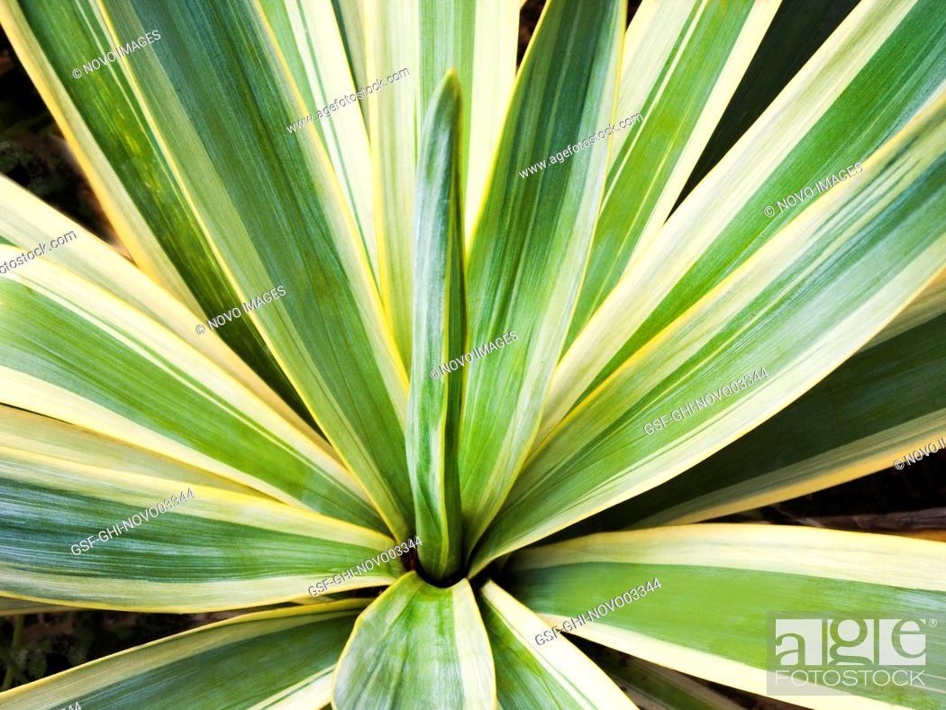 Stock Photo: Golden Sword Yucca Plant.