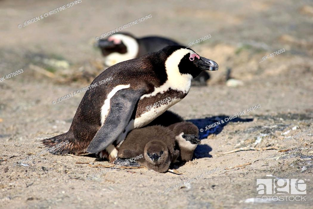 Stock Photo: African Penguin (Spheniscus demersus), adult with young in the nest, Boulders Beach, Simon's Town, Western Cape, South Africa.