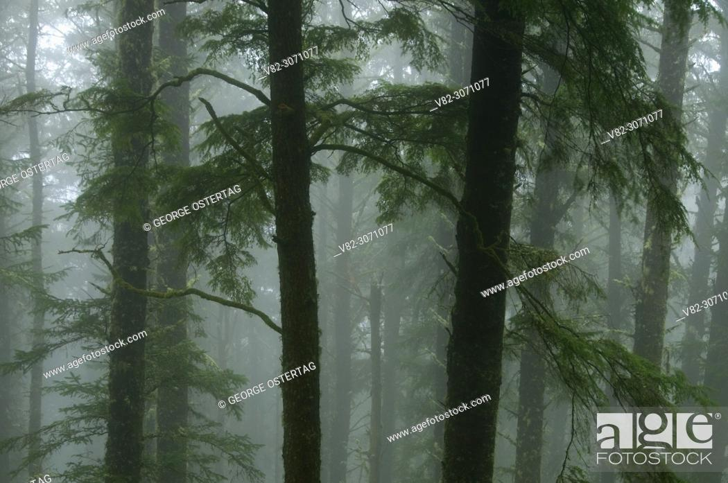 Stock Photo: Forest trunks in fog, Cape Lookout State Park, Oregon.