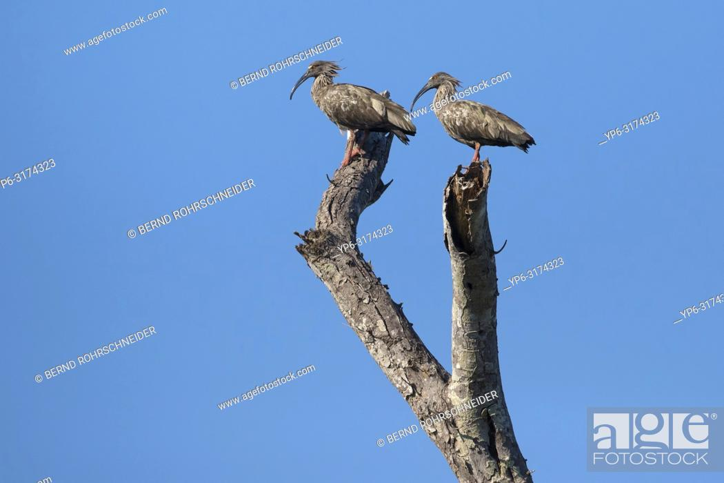Stock Photo: Plumbeous ibis (Theristicus caerulescens), two adults standing on tree, Rio Claro, Pantanal, Mato Grosso, Brazil.