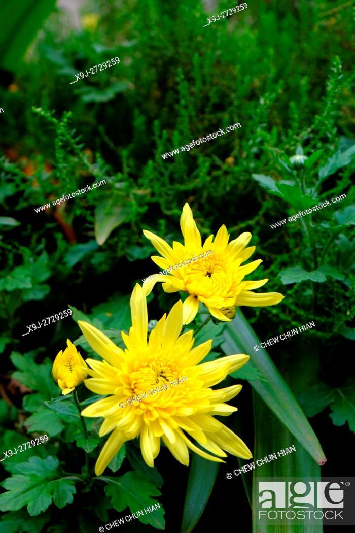 Stock Photo: chrysanthemum,,Daisy Flowers, asia.