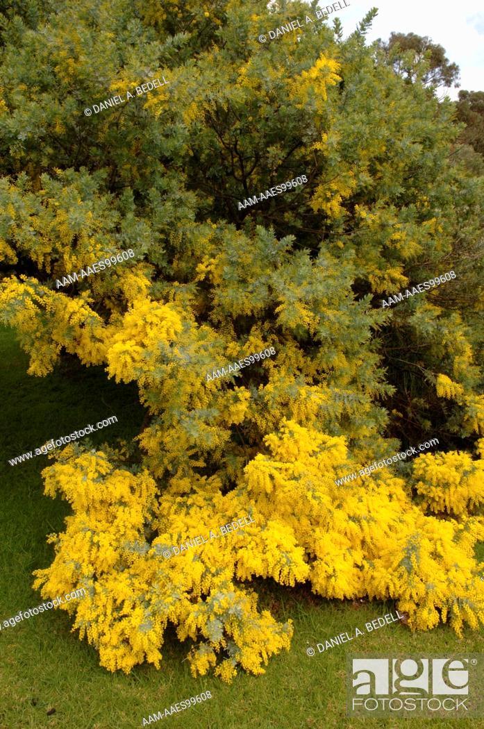 Golden Wattle Acacia Pycnantha Australias National Flower