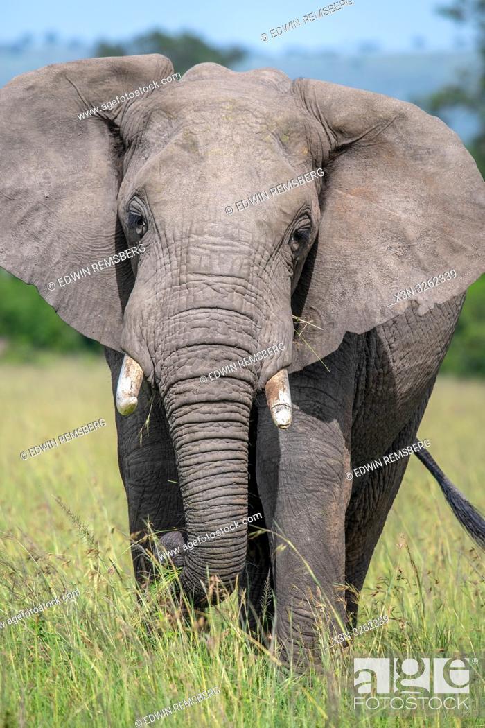 Stock Photo: A frontal view of an African bush elephant (Loxodonta africana), aka African savanna elephant in Maasai Mara National Reserve , Kenya.