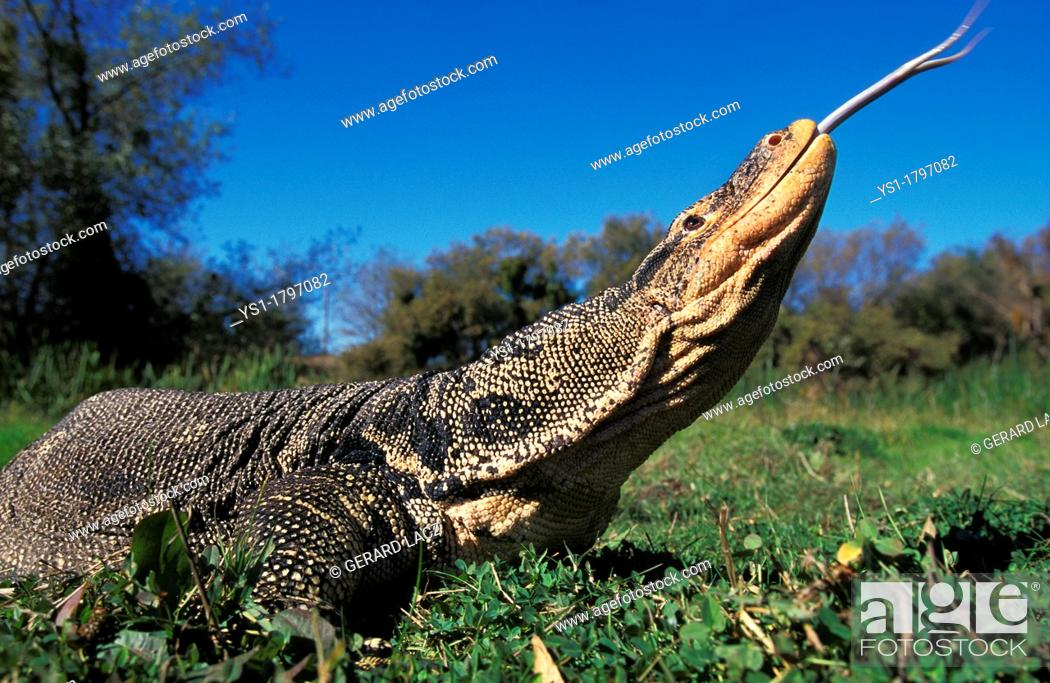 Stock Photo - Water Monitor Lizard, varanus salvator, Adult with Tongue out