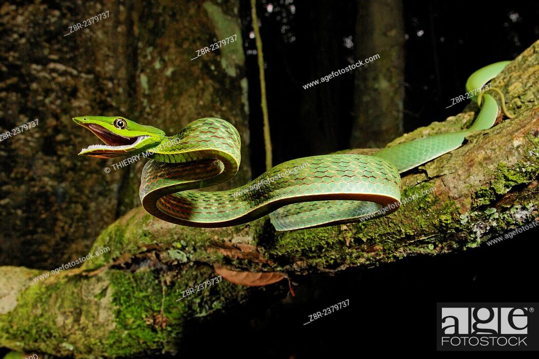 Stock Photo: Oxybelis fulgidus. Defensive attack of a vinesnake. French Guiana.
