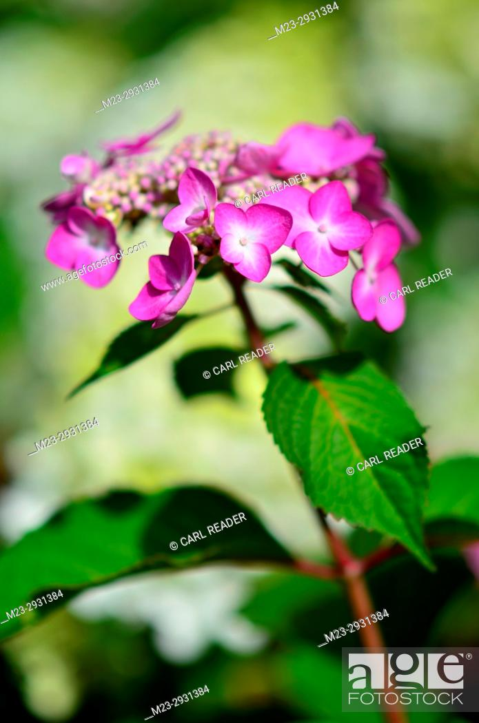Stock Photo: A newly opened hydrangea flower in soft-focus, Pennsylvania, USA.