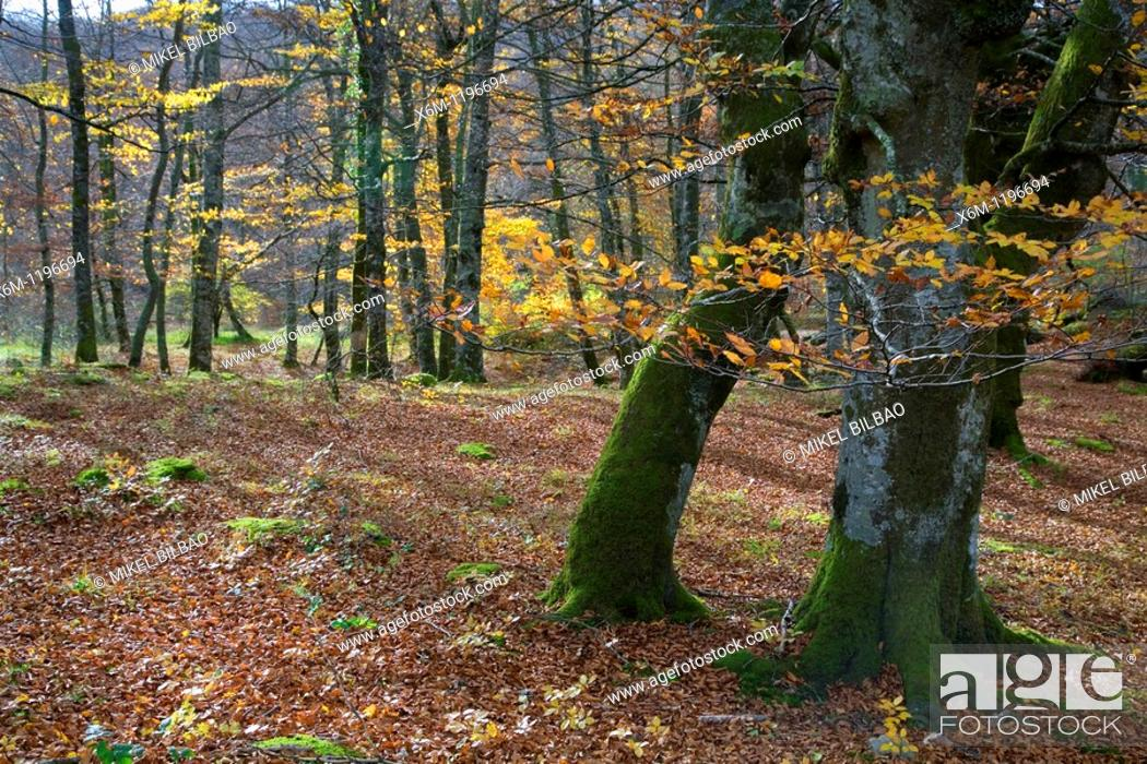 Stock Photo: Beechwood in autumn  Monte Santiago Natural Monument  Las Merindades County  Burgos, Castile and Leon, Spain, Europe.