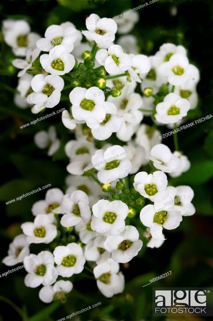 Stock Photo: Sweet Alyssum Lobularia maritima.
