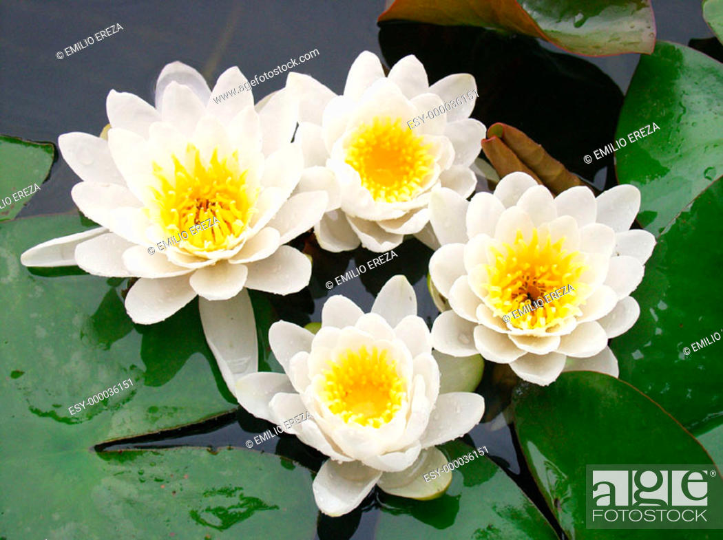 Stock Photo: Water Lily (Nymphaea alba).