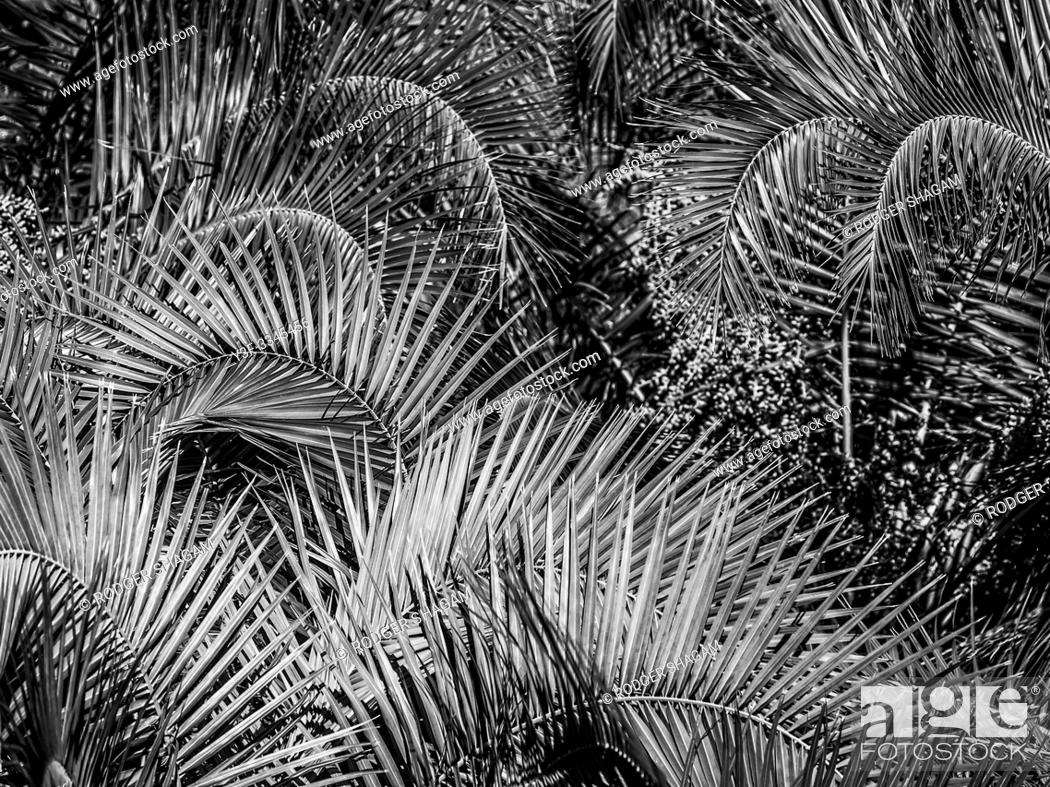 Stock Photo: Density of palm trees and young dates.