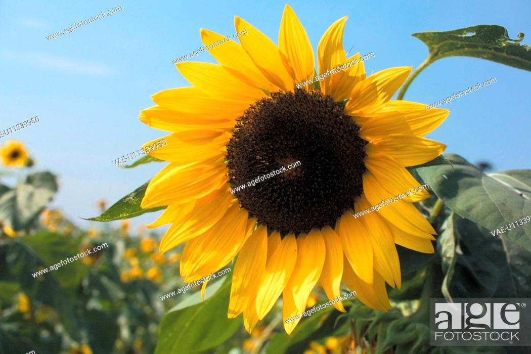 Stock Photo: flowers, plant, flower, plants, sunflower, bloom, nature.