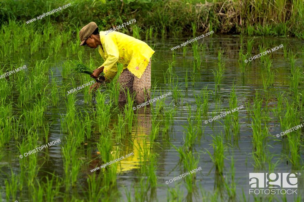 Stock Photo: Kubutambahan, farmer in the rice field.