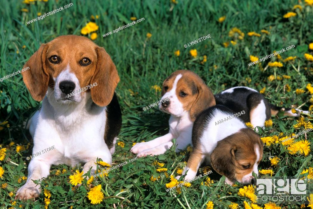 Stock Photo: Beagle with Puppies.