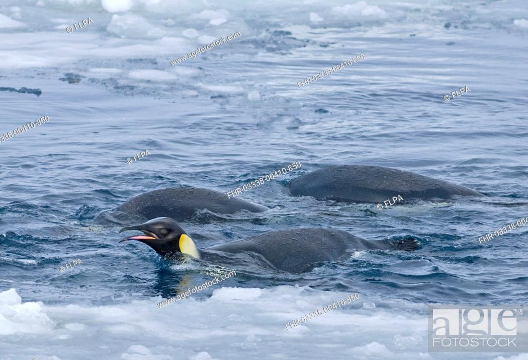 Stock Photo: Emperor Penguin Aptenodytes forsteri adults, feeding, swimming at ice edge, Snow Hill Island, Weddell Sea, Antarctica.