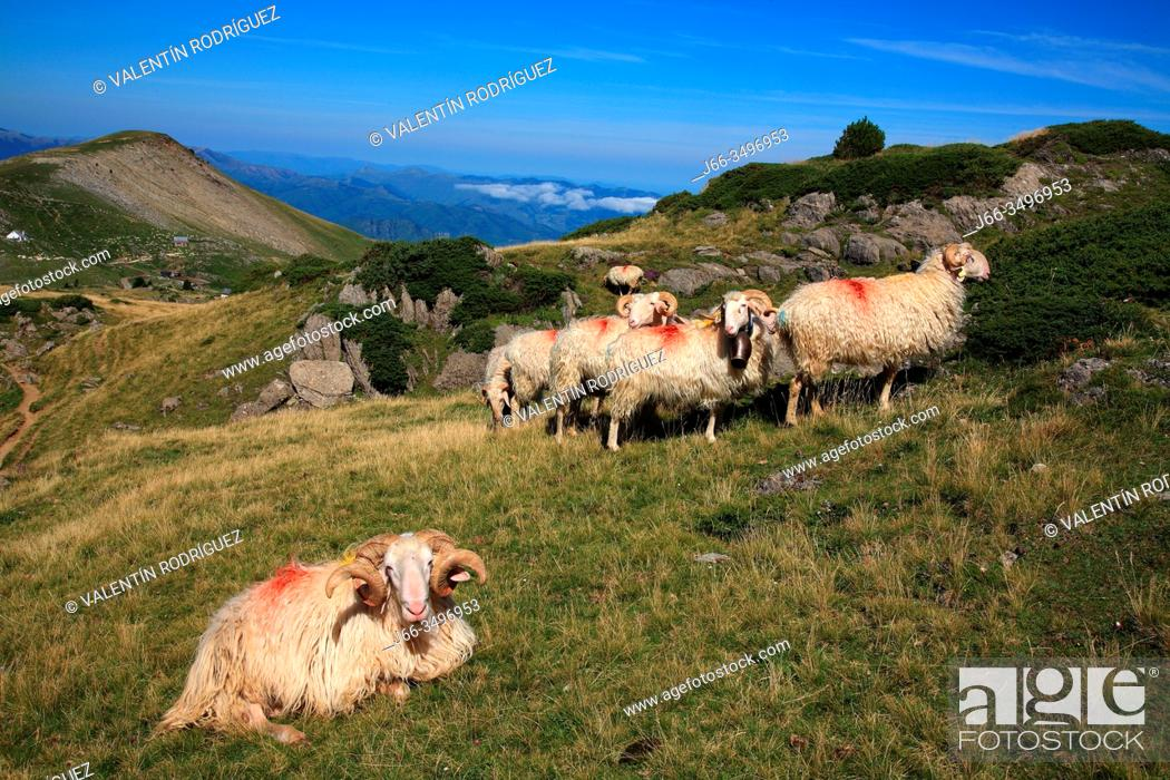 Stock Photo: Latxa sheep in the natural reserve of Larra. Navarra.